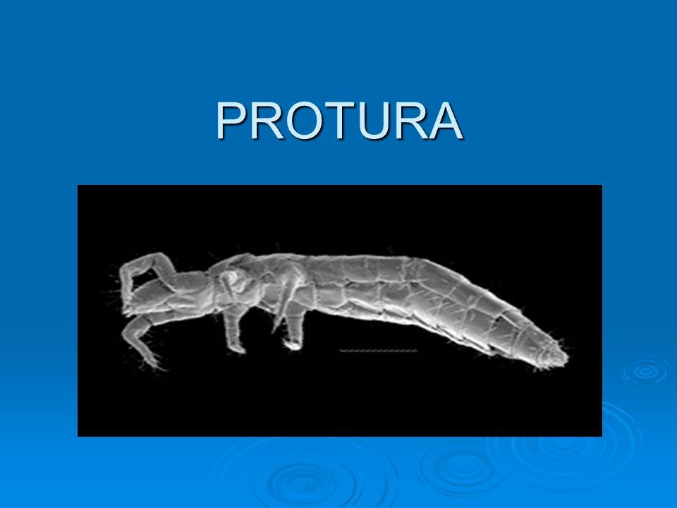 PROTURA