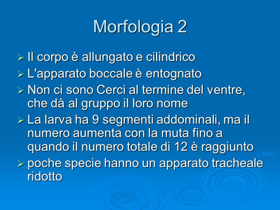 Morfologia 2 Il corpo è allungato e cilindrico