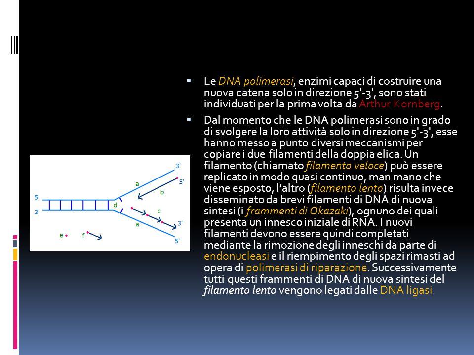Le DNA polimerasi, enzimi capaci di costruire una nuova catena solo in direzione 5 -3 , sono stati individuati per la prima volta da Arthur Kornberg.