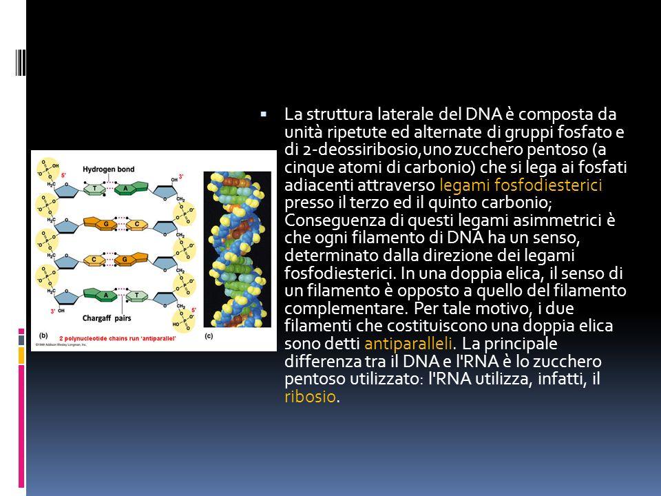 La struttura laterale del DNA è composta da unità ripetute ed alternate di gruppi fosfato e di 2-deossiribosio,uno zucchero pentoso (a cinque atomi di carbonio) che si lega ai fosfati adiacenti attraverso legami fosfodiesterici presso il terzo ed il quinto carbonio; Conseguenza di questi legami asimmetrici è che ogni filamento di DNA ha un senso, determinato dalla direzione dei legami fosfodiesterici.