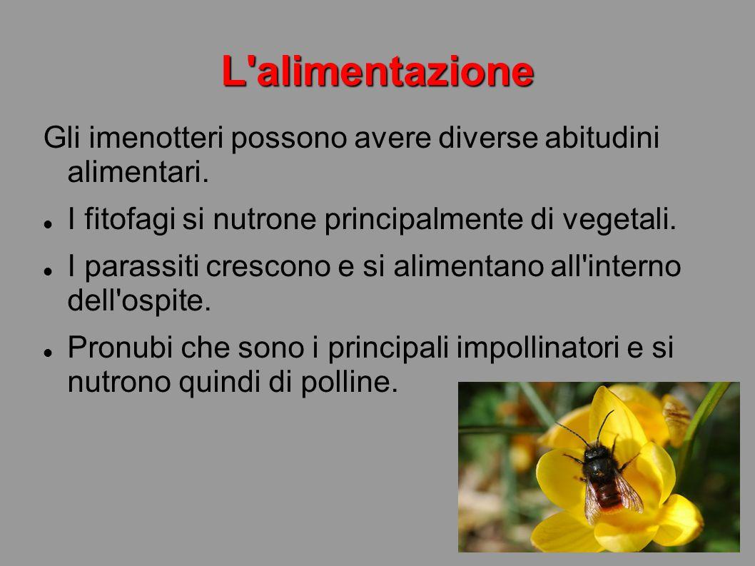 L alimentazione Gli imenotteri possono avere diverse abitudini alimentari. I fitofagi si nutrone principalmente di vegetali.