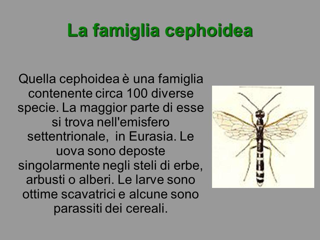 La famiglia cephoidea