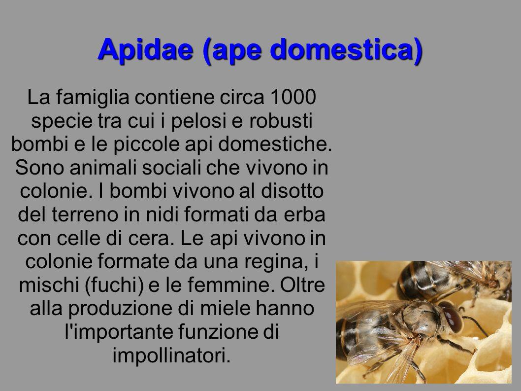 Apidae (ape domestica)