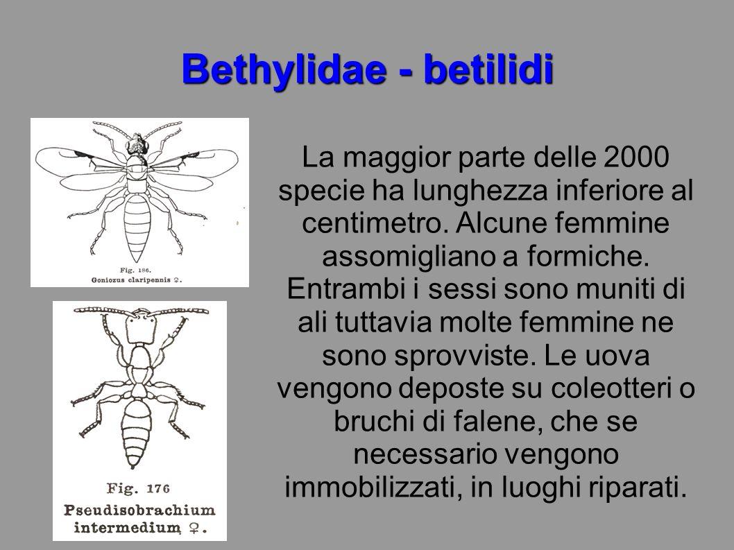 Bethylidae - betilidi