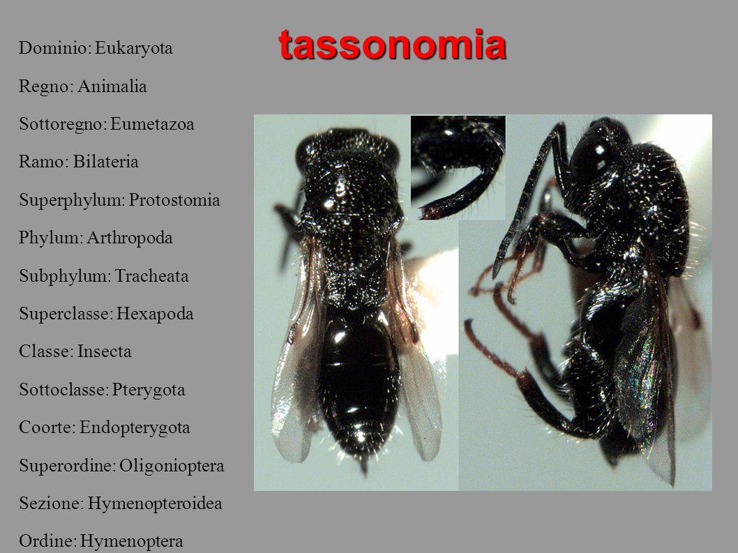tassonomia Dominio: Eukaryota Regno: Animalia Sottoregno: Eumetazoa