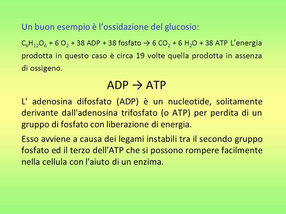 ADP → ATP Un buon esempio è l'ossidazione del glucosio:
