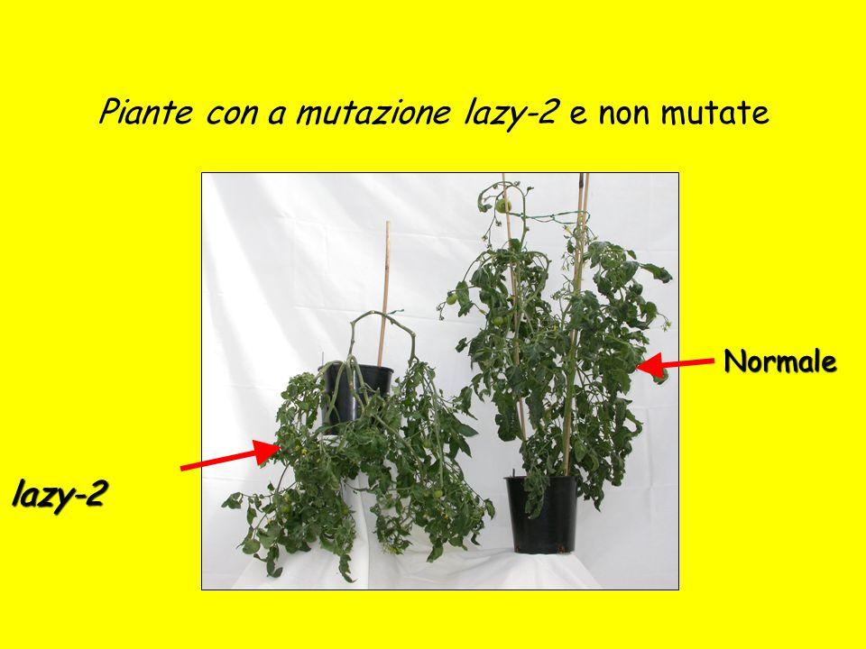 Piante con a mutazione lazy-2 e non mutate