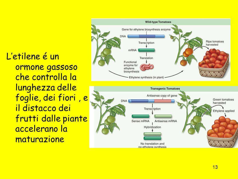 L'etilene é un ormone gassoso che controlla la lunghezza delle foglie, dei fiori , e il distacco dei frutti dalle piante accelerano la maturazione