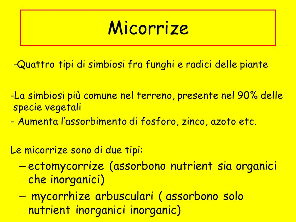 Micorrize -Quattro tipi di simbiosi fra funghi e radici delle piante. -La simbiosi più comune nel terreno, presente nel 90% delle specie vegetali.
