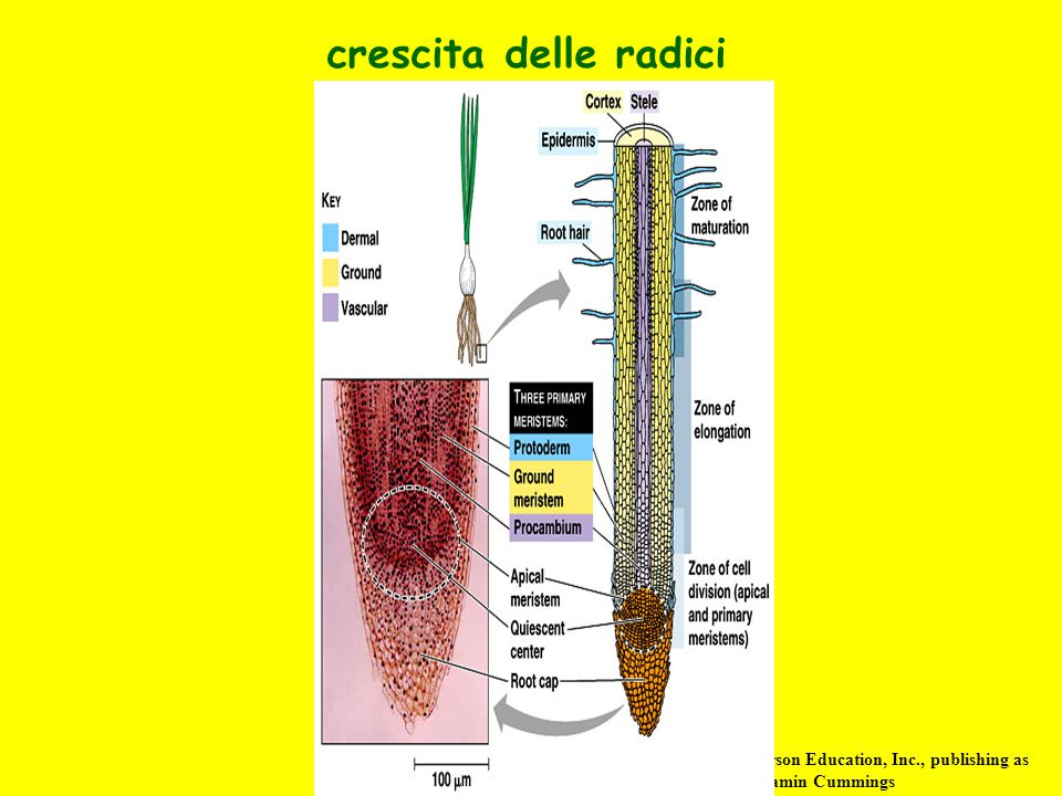 crescita delle radici Copyright © 2002 Pearson Education, Inc., publishing as Benjamin Cummings