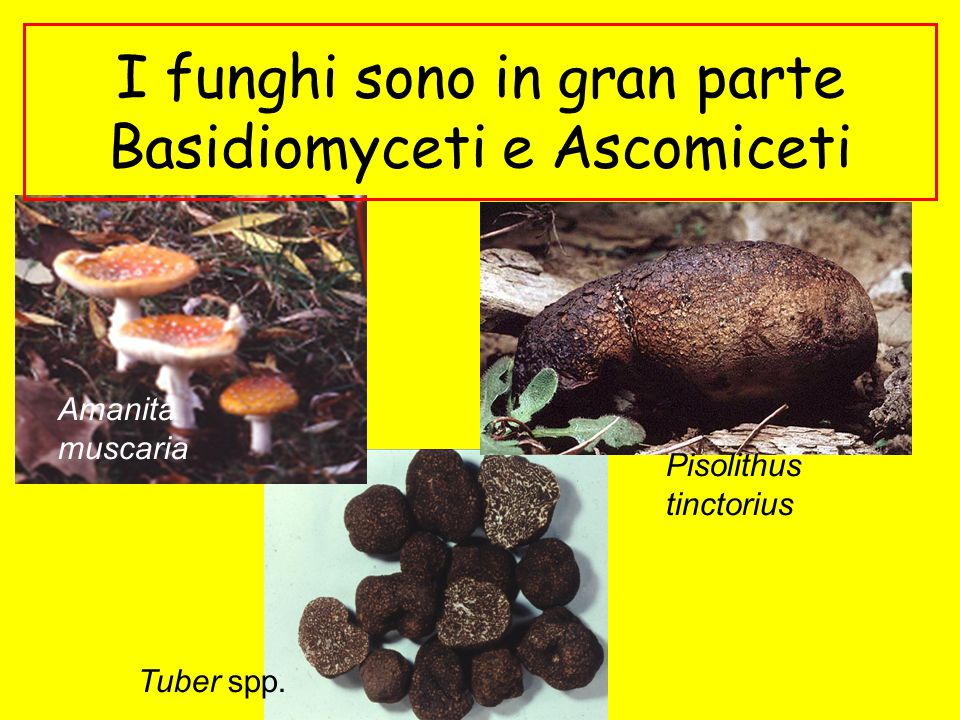 I funghi sono in gran parte Basidiomyceti e Ascomiceti