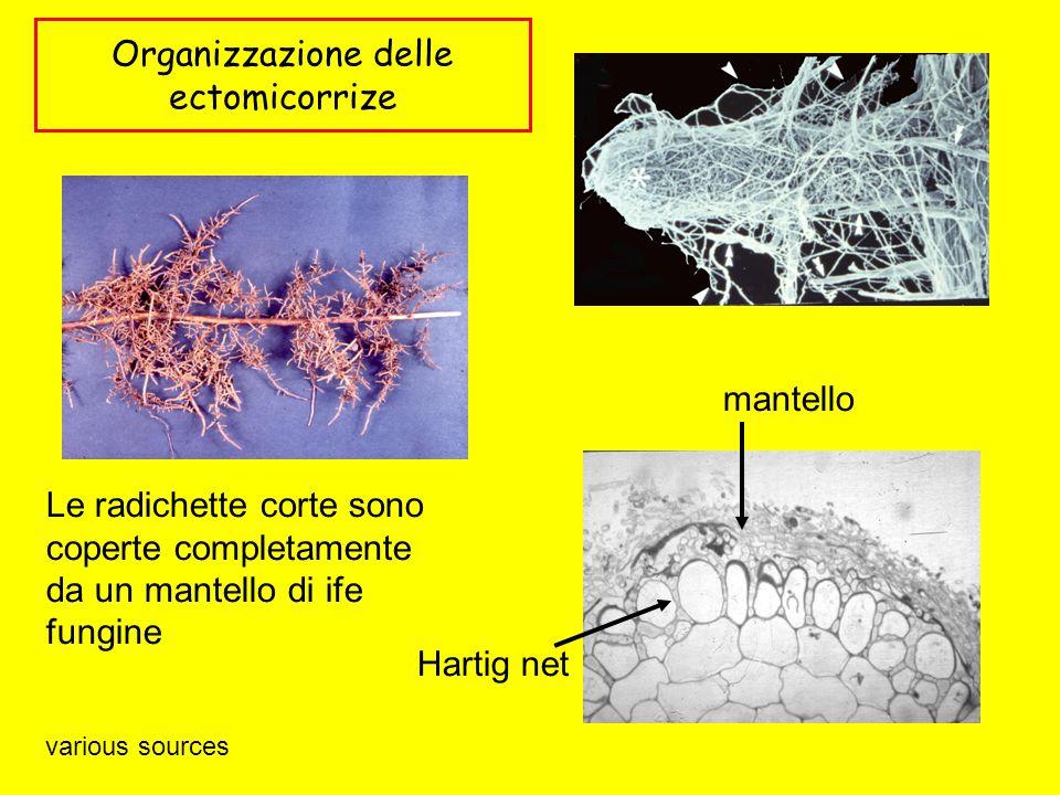 Organizzazione delle ectomicorrize