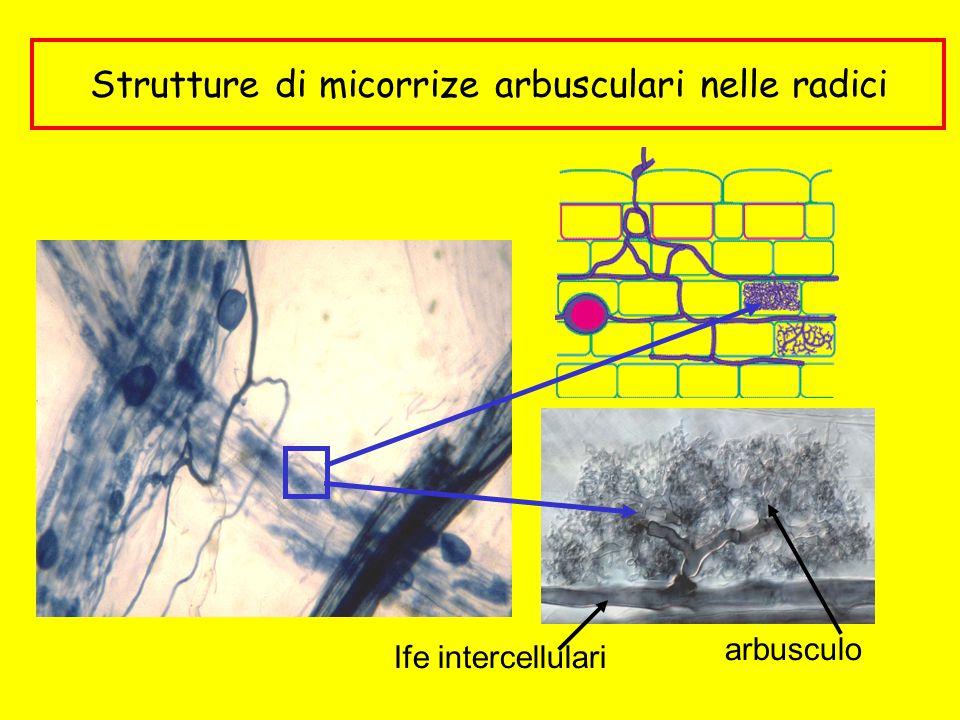 Strutture di micorrize arbusculari nelle radici