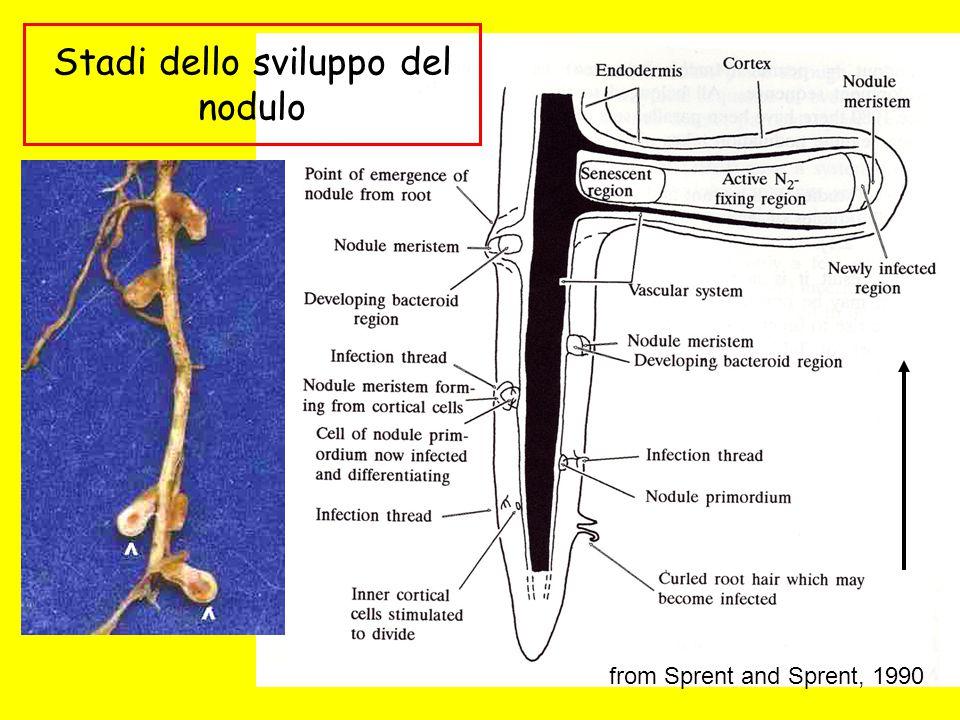 Stadi dello sviluppo del nodulo