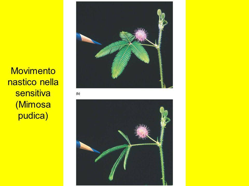 Movimento nastico nella sensitiva (Mimosa pudica)