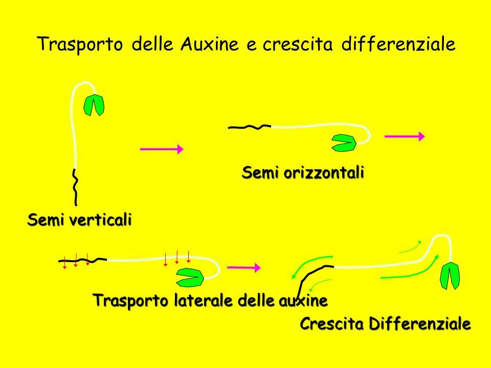 Trasporto delle Auxine e crescita differenziale