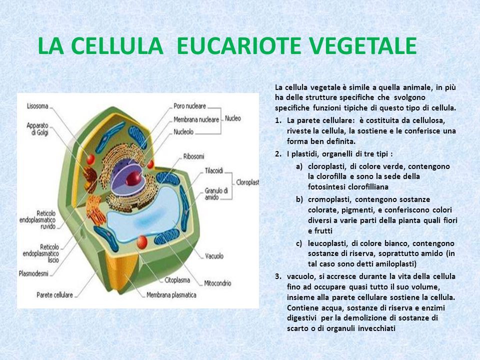LA CELLULA EUCARIOTE VEGETALE