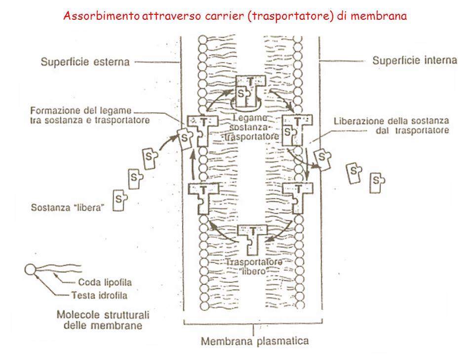 Assorbimento attraverso carrier (trasportatore) di membrana