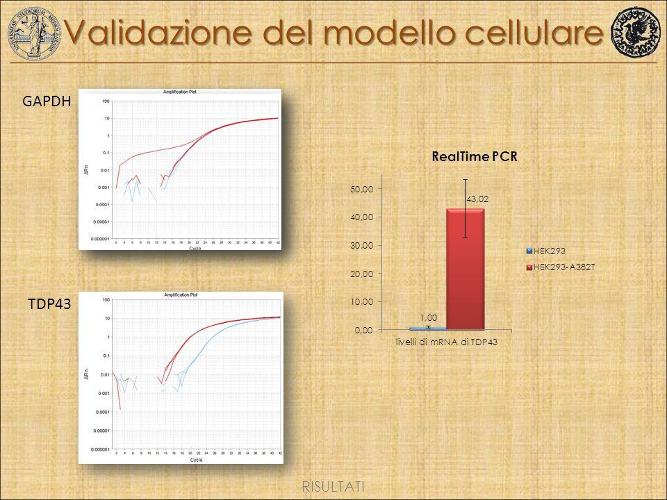Validazione del modello cellulare