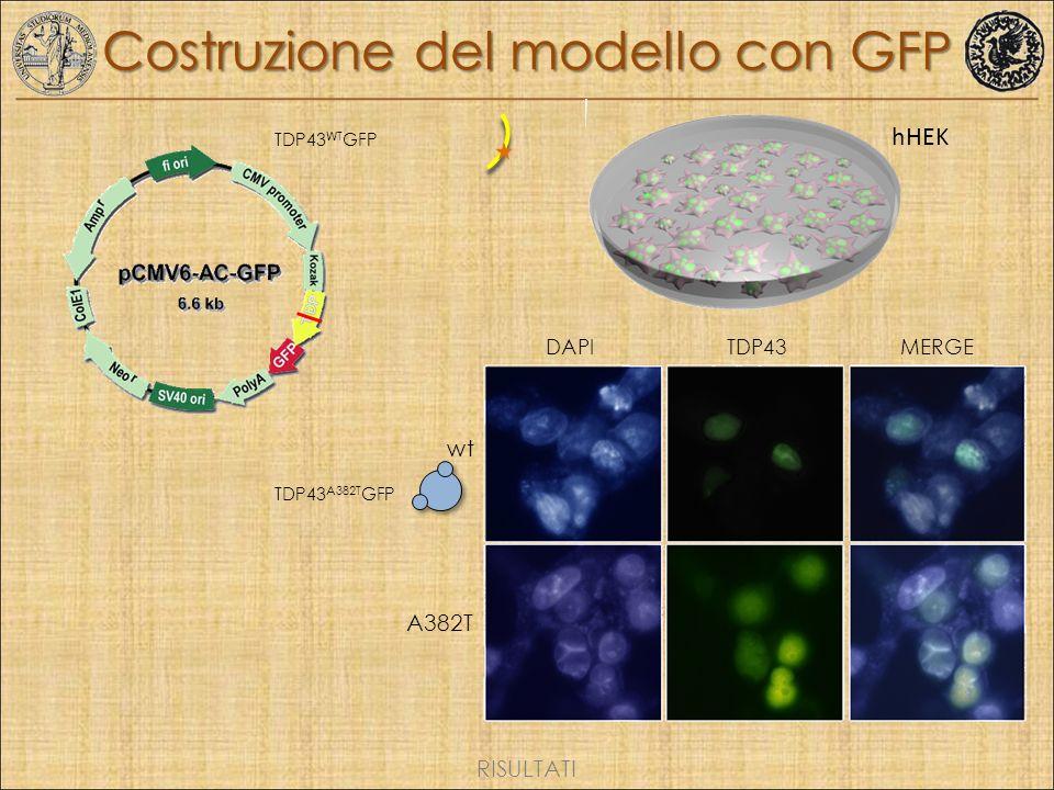 Costruzione del modello con GFP
