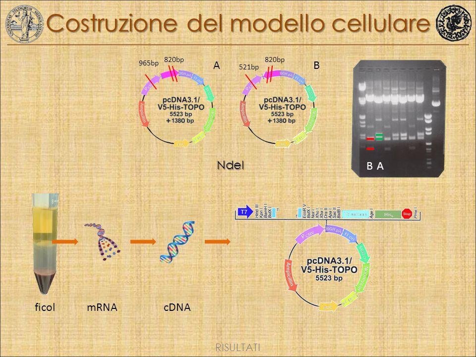 Costruzione del modello cellulare