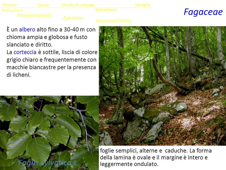 Fagaceae Fagus sylvatica L.