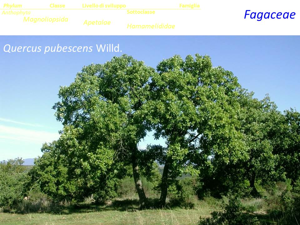Fagaceae Quercus pubescens Willd. Magnoliopsida Apetalae Hamamelididae