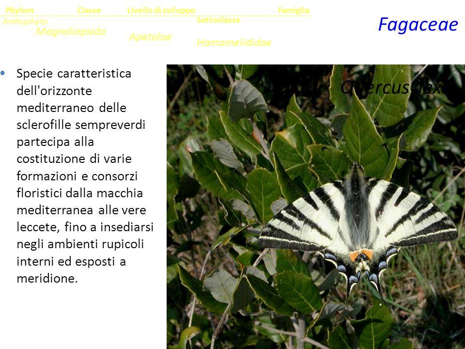 Fagaceae Quercus ilex L.