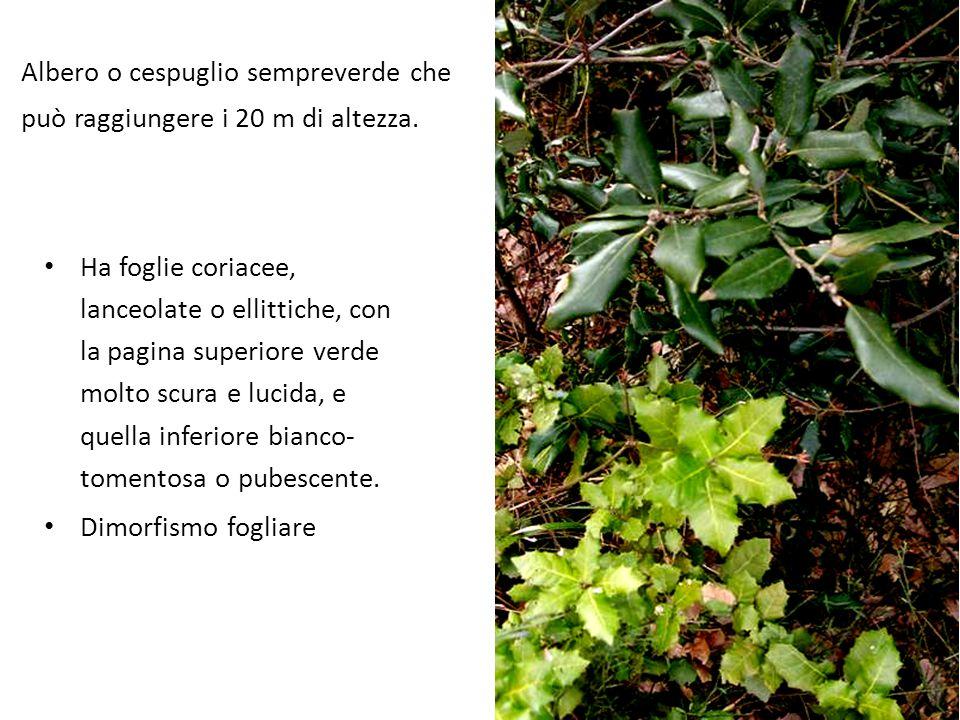 Albero o cespuglio sempreverde che può raggiungere i 20 m di altezza.