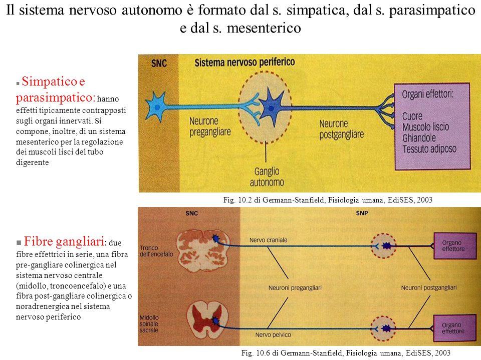 Il sistema nervoso autonomo è formato dal s. simpatica, dal s