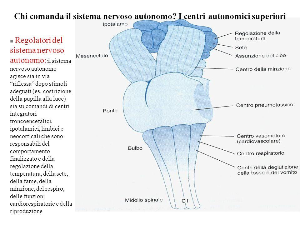 Chi comanda il sistema nervoso autonomo I centri autonomici superiori