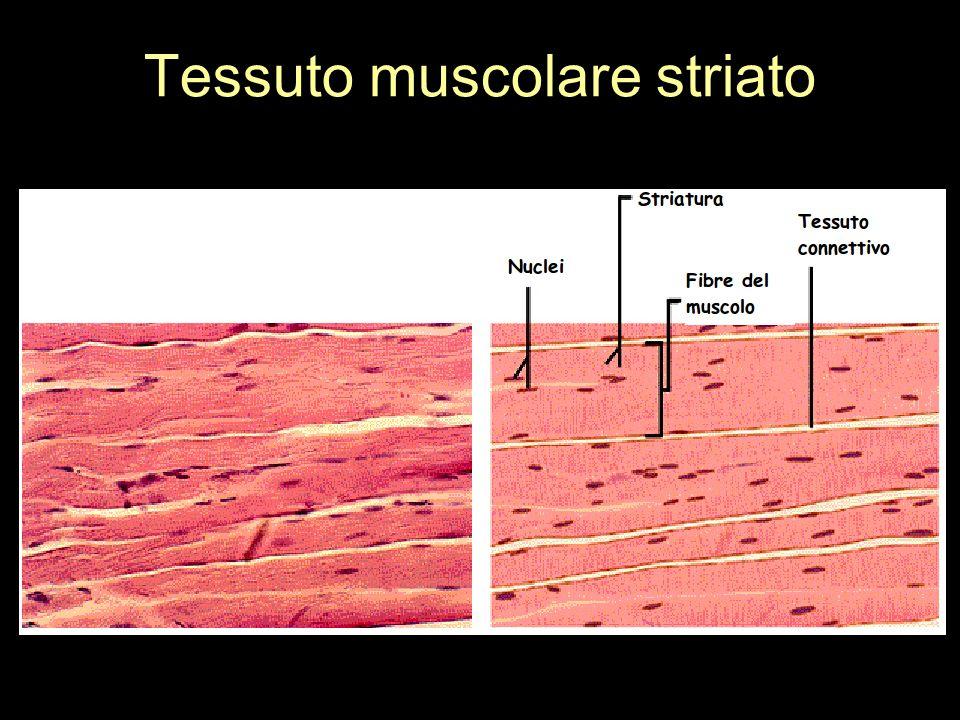 Tessuto muscolare striato