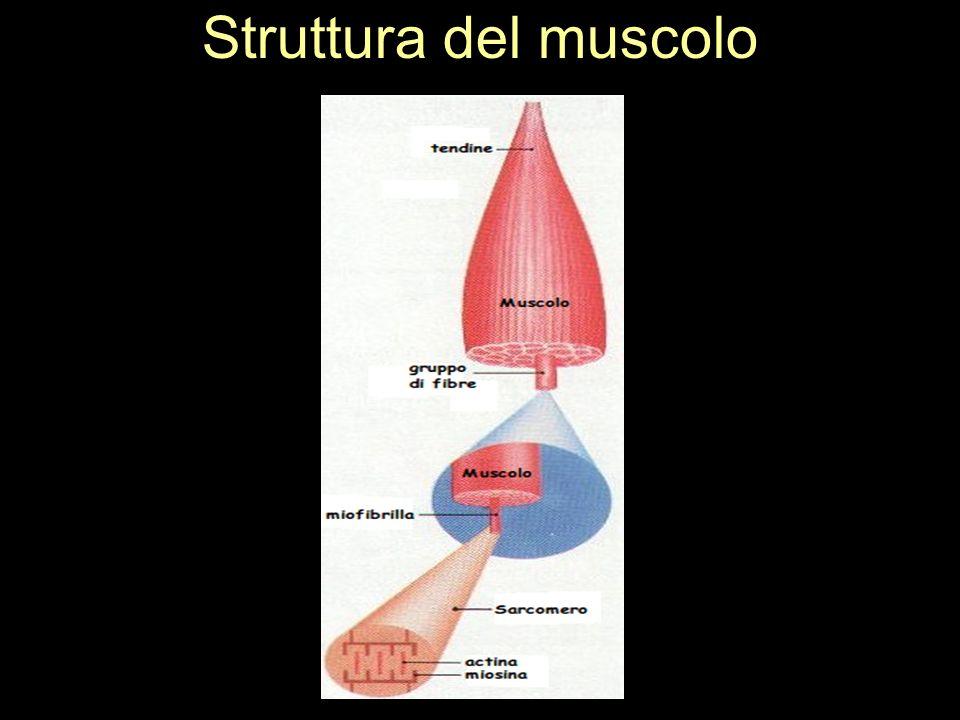 Struttura del muscolo