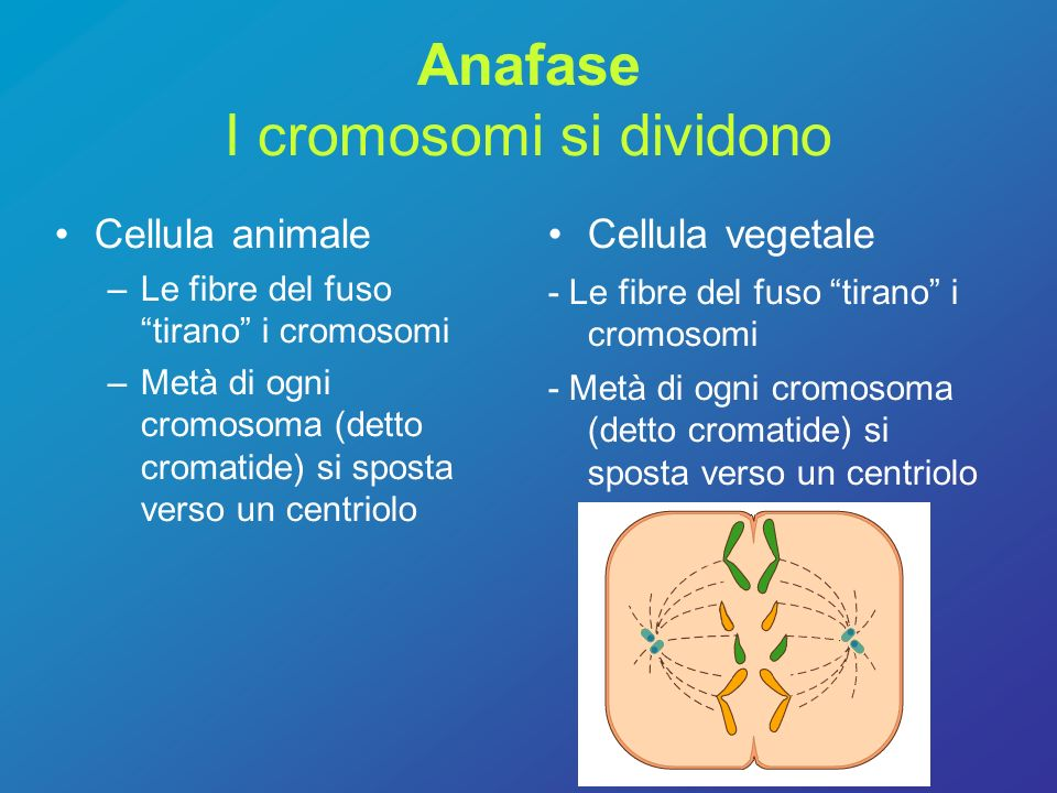 Anafase I cromosomi si dividono