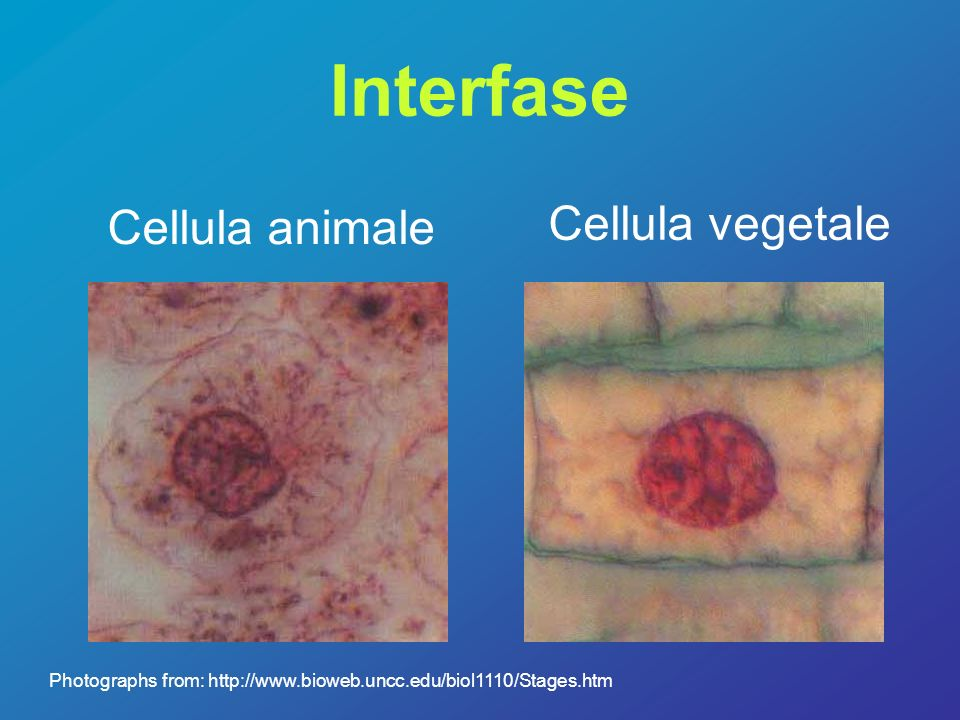 Interfase Cellula vegetale Cellula animale