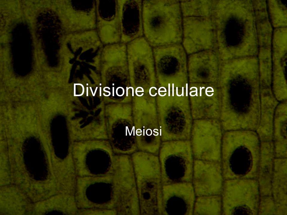 Divisione cellulare Meiosi