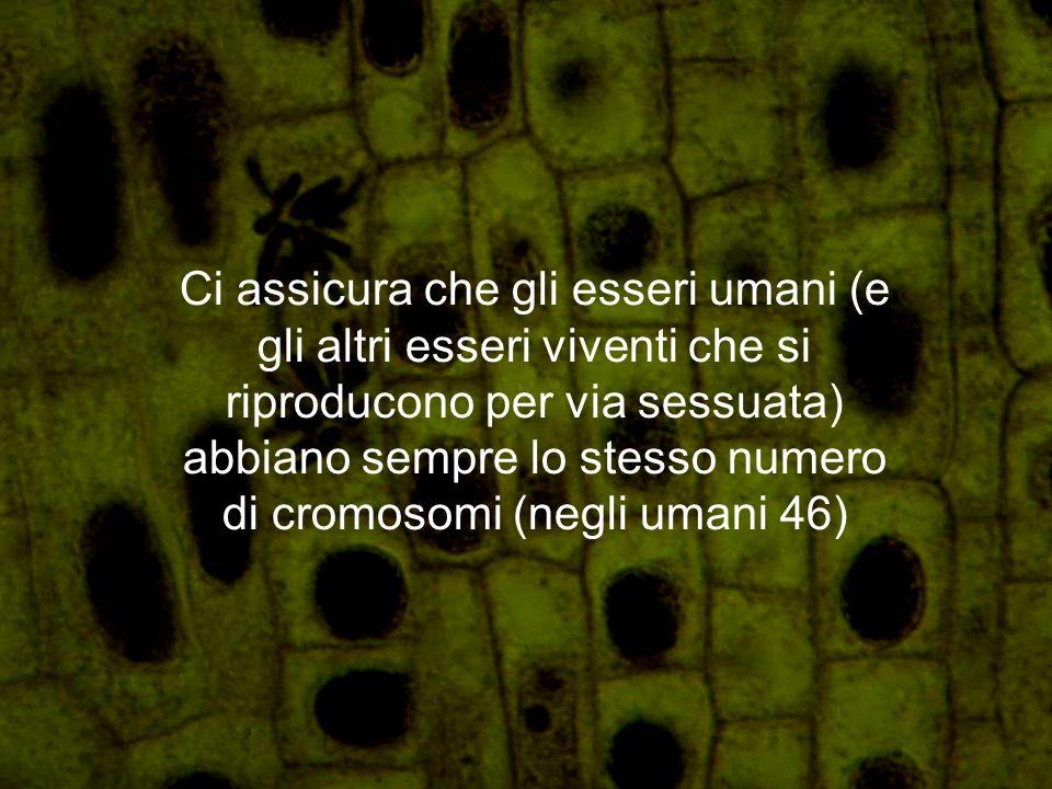 Ci assicura che gli esseri umani (e gli altri esseri viventi che si riproducono per via sessuata) abbiano sempre lo stesso numero di cromosomi (negli umani 46)