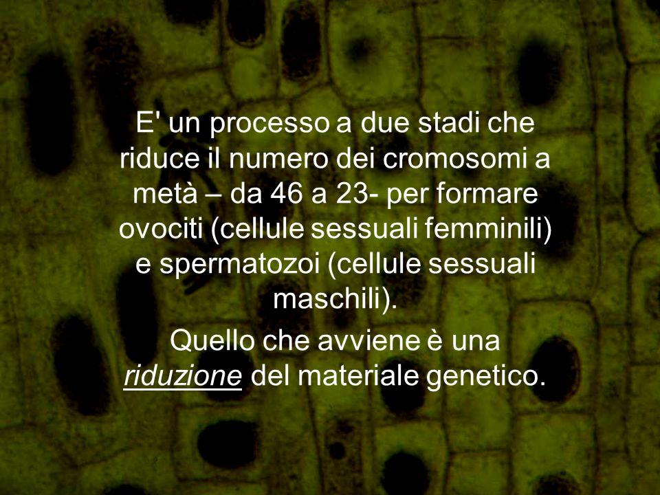Quello che avviene è una riduzione del materiale genetico.