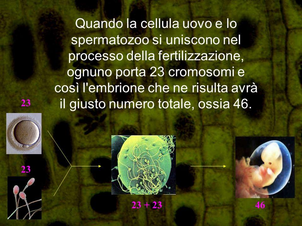 Quando la cellula uovo e lo spermatozoo si uniscono nel processo della fertilizzazione, ognuno porta 23 cromosomi e così l embrione che ne risulta avrà il giusto numero totale, ossia 46.