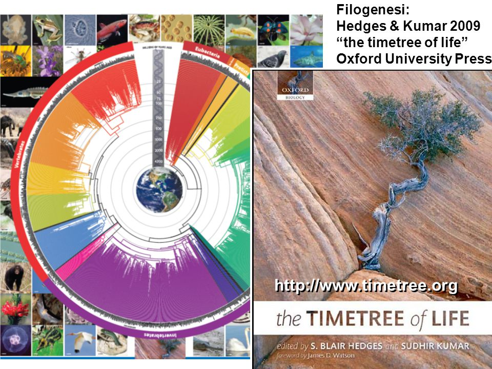 http://www.timetree.org Filogenesi: Hedges & Kumar 2009