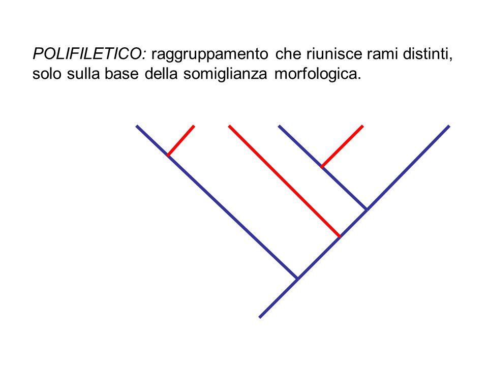 POLIFILETICO: raggruppamento che riunisce rami distinti, solo sulla base della somiglianza morfologica.