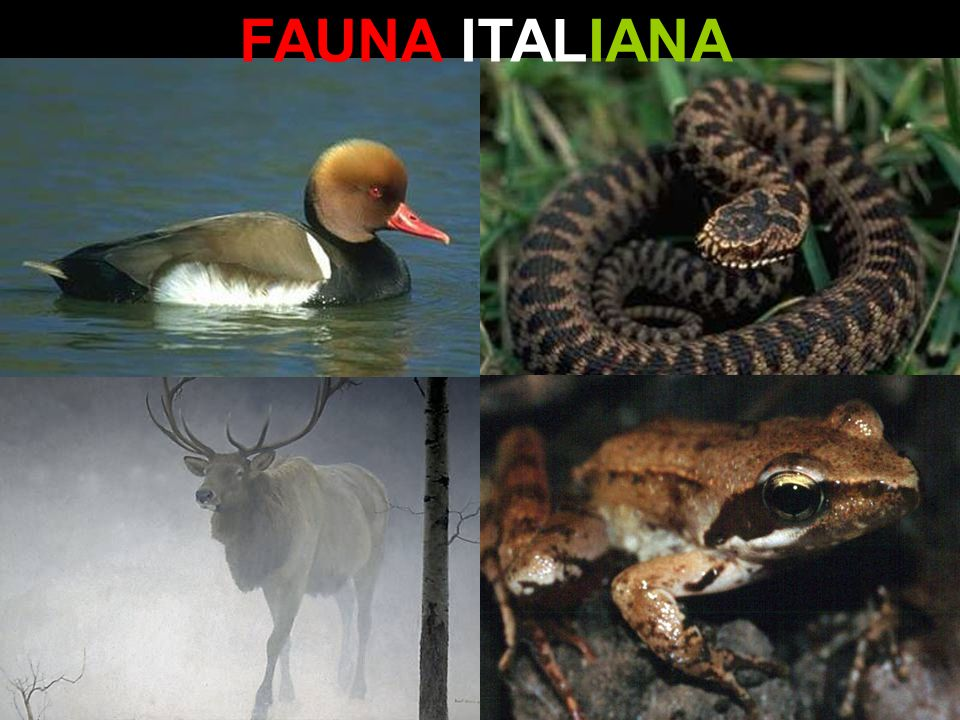 FAUNA ITALIANA