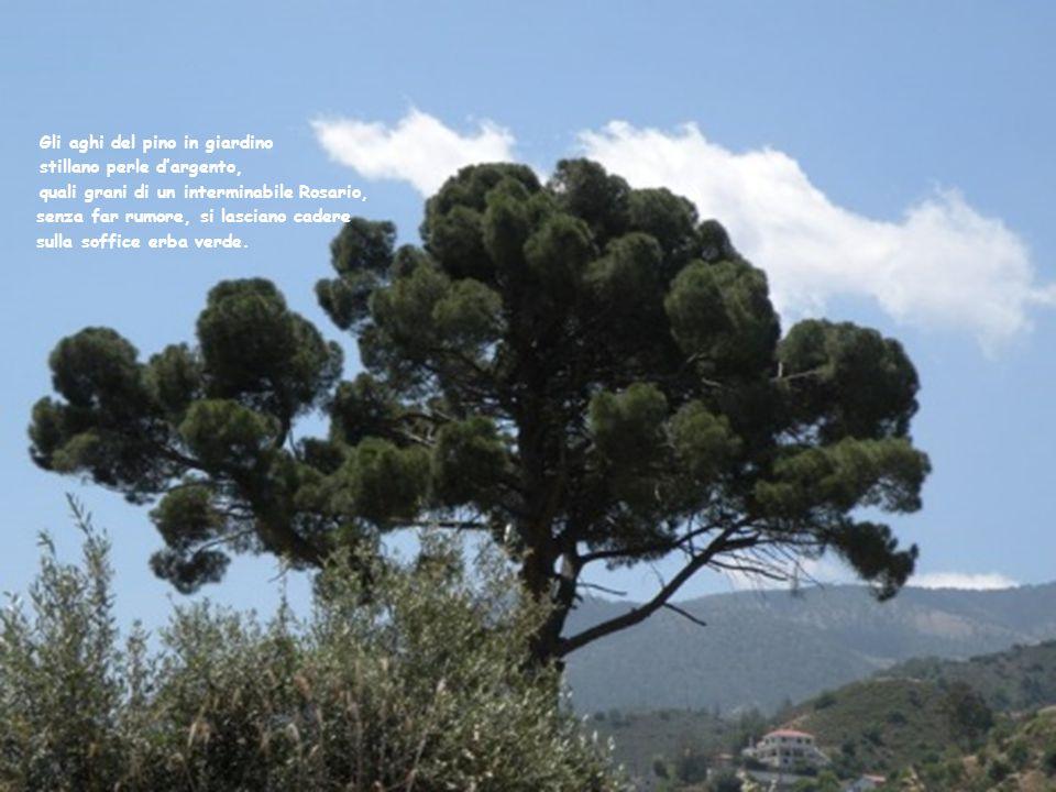 Gli aghi del pino in giardino