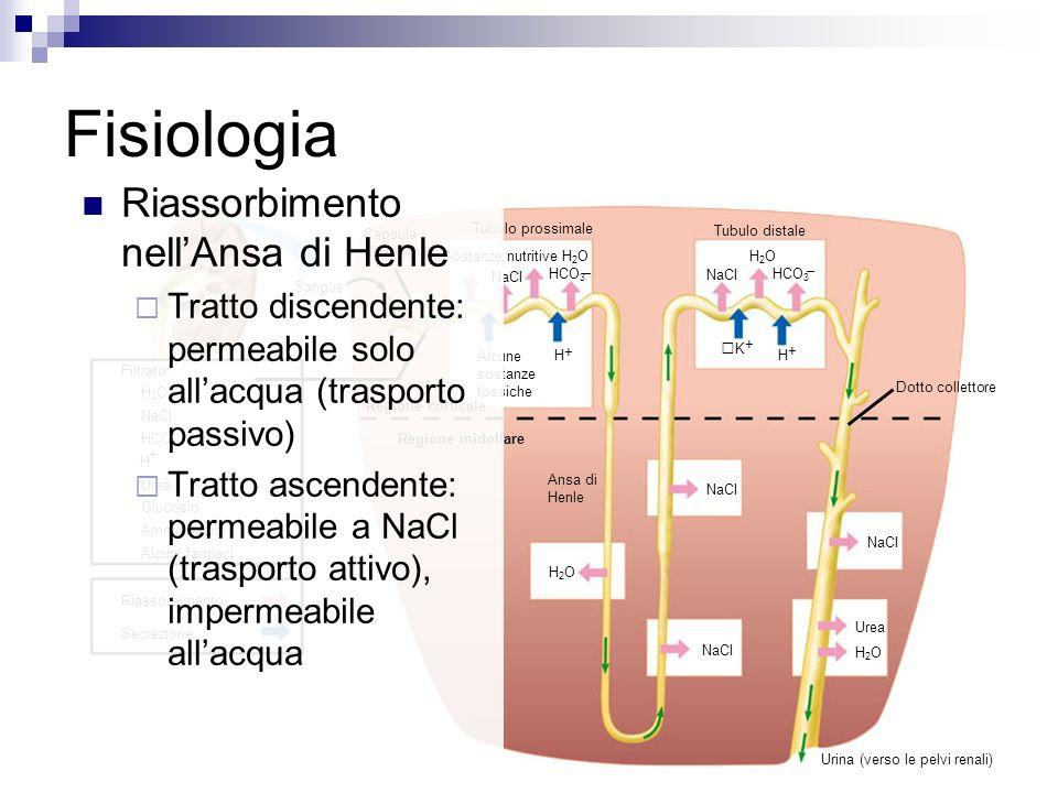 Fisiologia Riassorbimento nell'Ansa di Henle