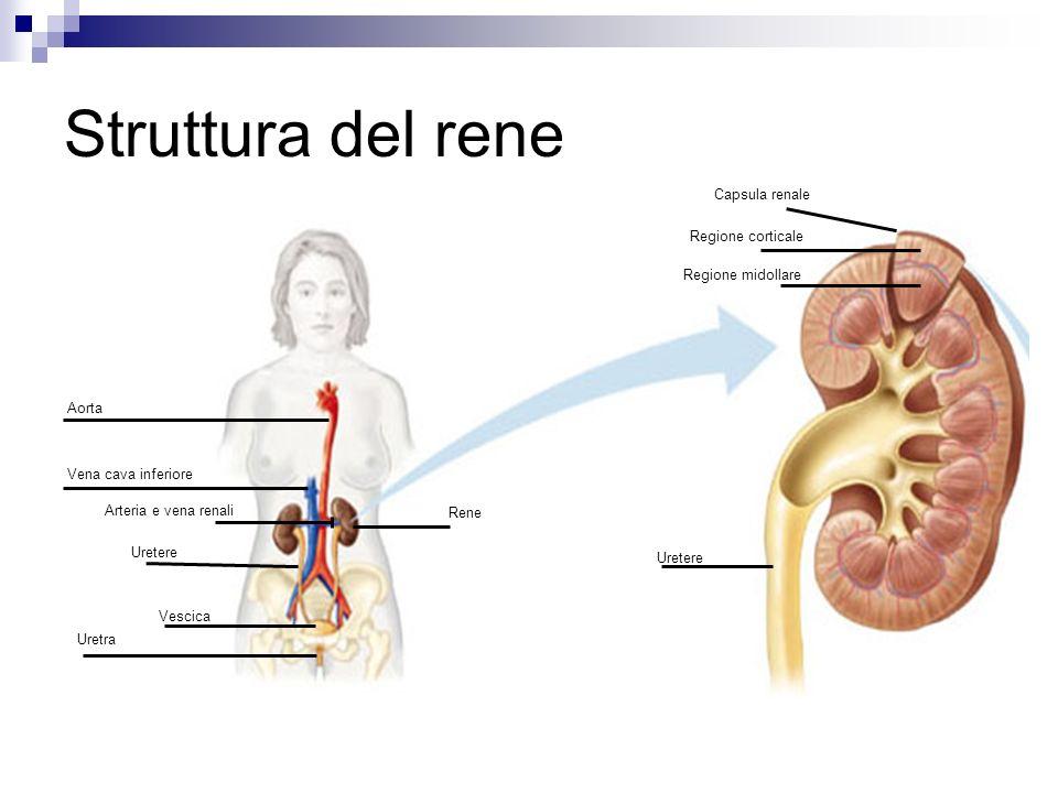 Struttura del rene Struttura ghiandolare, a forma di fagiolo