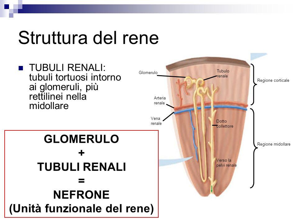 (Unità funzionale del rene)