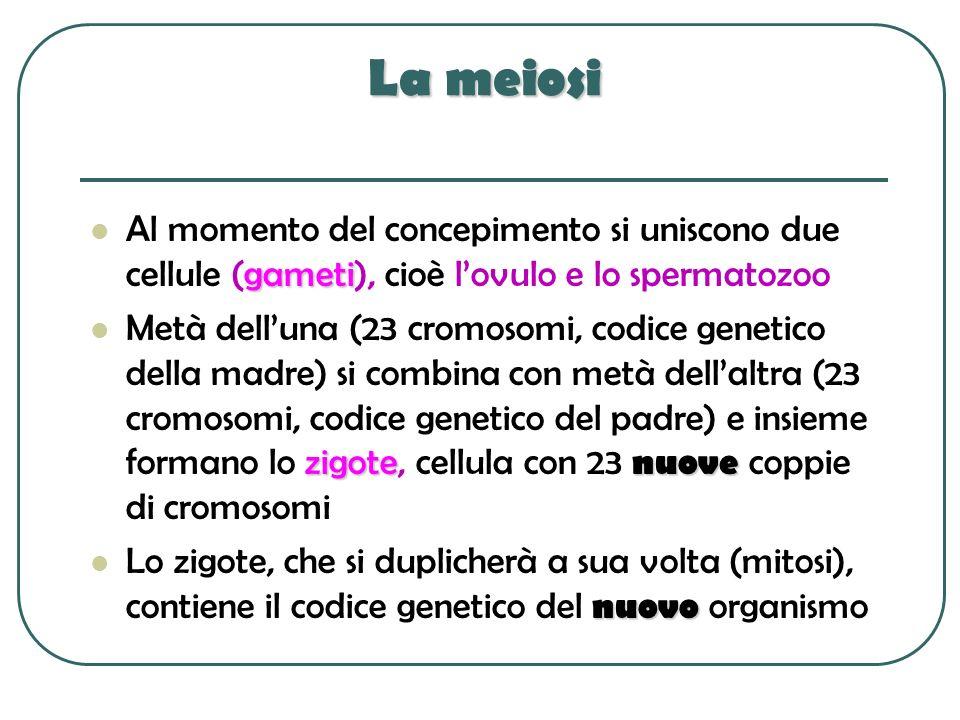 La meiosi Al momento del concepimento si uniscono due cellule (gameti), cioè l'ovulo e lo spermatozoo.