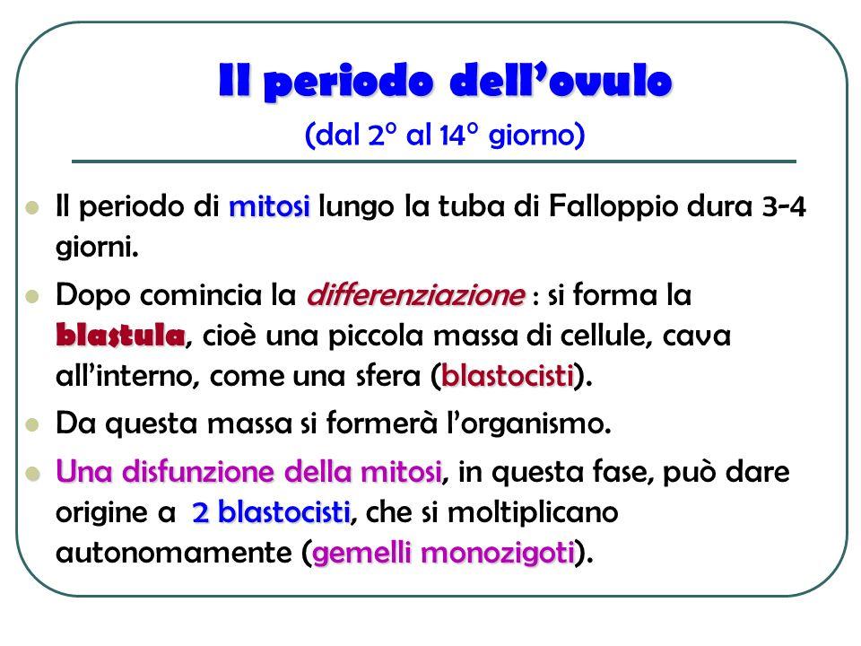 Il periodo dell'ovulo (dal 2° al 14° giorno)