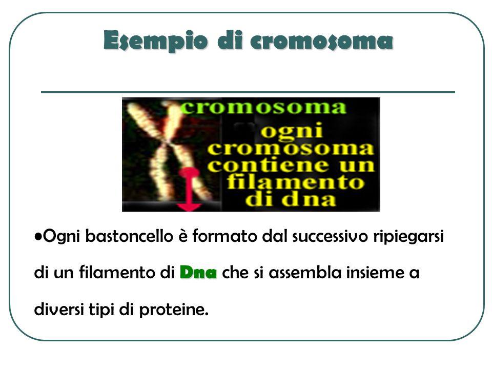 Esempio di cromosoma Ogni bastoncello è formato dal successivo ripiegarsi di un filamento di Dna che si assembla insieme a diversi tipi di proteine.