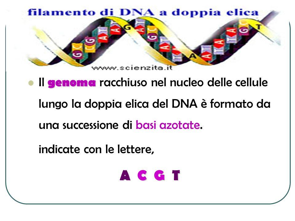 Il genoma racchiuso nel nucleo delle cellule lungo la doppia elica del DNA è formato da una successione di basi azotate.